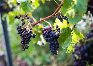 Weingut am Wilfensee Stefan Benz
