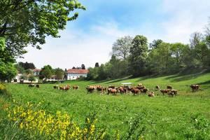 Hinterwälder Rinder vor dem Hof