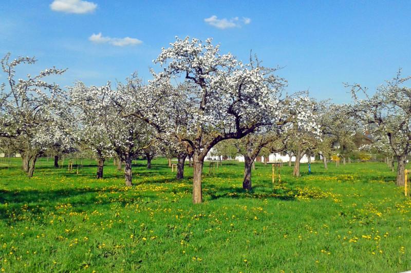 Blühende Apfelbäume - © Mosterei Meisterhof