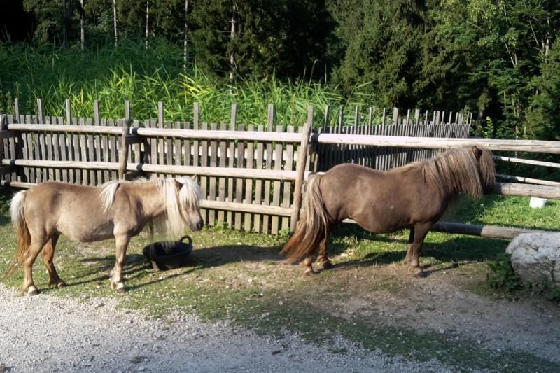 Shetland-Ponys auf der Hefter-Alm © Chiemsee-Alpenland Tourismus